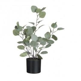 Eucalyptus en pot noir
